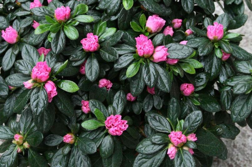 azalee-rose