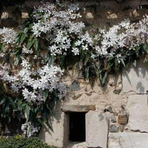 Les Jardins de Marta - Clematite