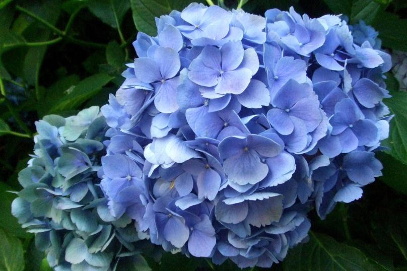 hortensias-bleu