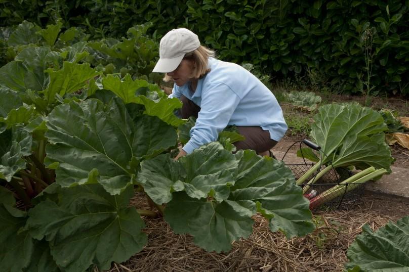 Cueillette rhubarbe