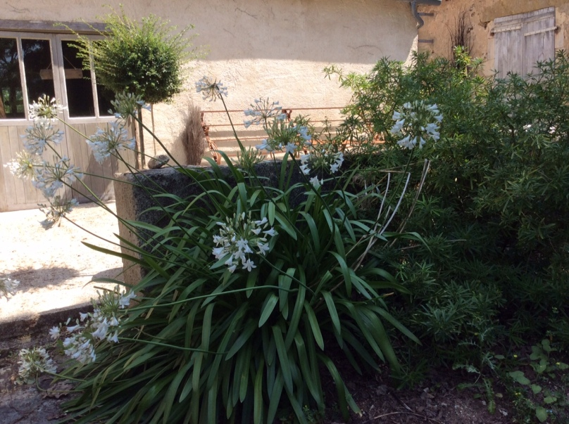 Agapanthes-jardins-Marta-02