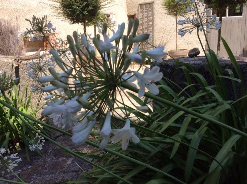 Agapanthes-jardins-Marta-03