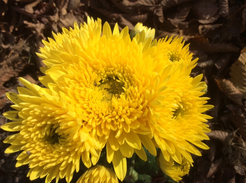 chrysanthemes-2