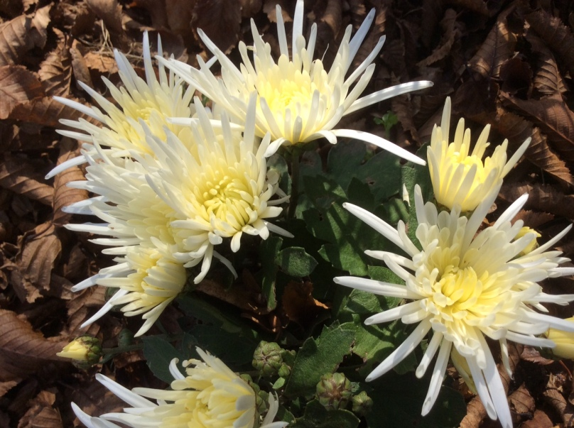 chrysanthemes-3