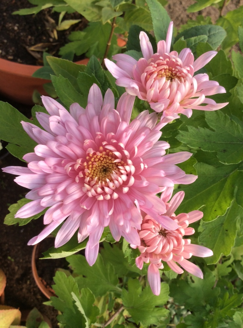 chrysanthemes-4